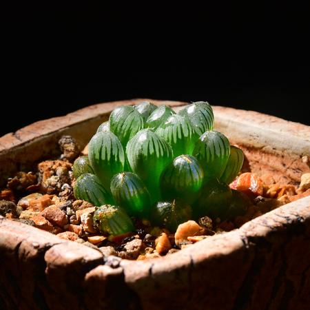 Haworthia cooperi truncata, tiny desert plant in the pot with black background