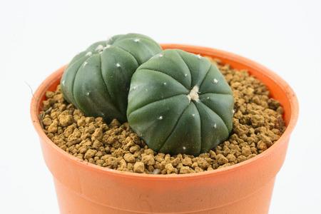 astrophytum, a kind of cactus