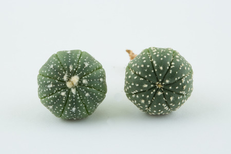 types of cactus: astrophytum, a kind of cactus