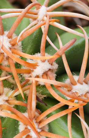 texture of cactus, desert plant Stock Photo