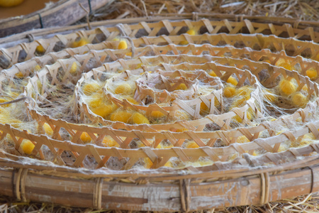 cocoon of silk worm in the tray (focus center of tray)