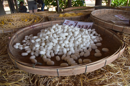 cocoon of silk worm in the tray (thai text in the picture is mean cocoon)