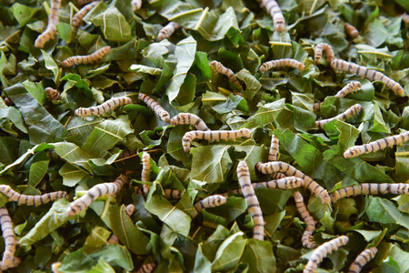silk worm eating mulberry leaf (focus silk worm)
