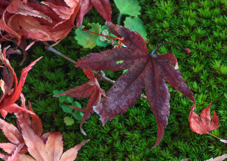 Japanese maple leaves on a mossy green area.