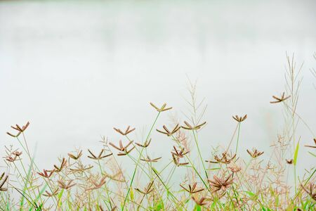 Brown grass flowers in a green field.soft focus. background is white water surface
