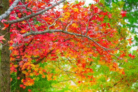 Red maple leaves in autumn season with blurred background, taken from  Kitakyushu, Fukuoka Prefecture, Japan. 写真素材 - 129955244