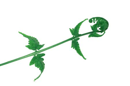 Details of vegetable ferns, Paco Fern, Small Vegetable fern, Green leafs  Isolated from white background.