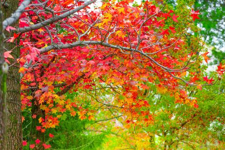 Red maple leaves in autumn season with blurred background, taken from  Kitakyushu, Fukuoka Prefecture, Japan. 写真素材 - 129955783