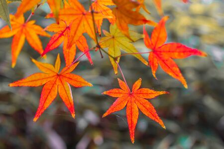 fall Leaves color change, Autumn leaves in Akita, Japan,Colorful leaves.Red Japanese maple tree.Autumn leaves.Japan tourist attractions.Japan autumn season.best places in Japan . 写真素材 - 129955786