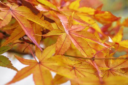 Red maple leaves in autumn season blurred background in  Kitakyushu, Fukuoka Prefecture, Japan.shallow focus effect.