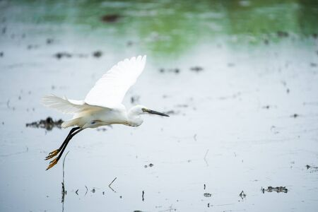 White Heron, Bittern,or Egret flying in the fields in Thailand.shallow focus effect.