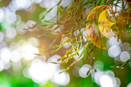 Blurred images of green leaves in the garden, Blurred bokeh  and fair lens as background In the natural garden in the daytime. 写真素材