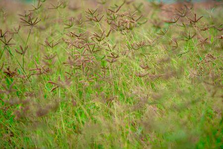 Brown grass flowers in a green field.soft focus. 写真素材
