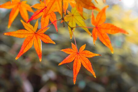 Red maple leaves in autumn season blurred background in  Kitakyushu, Fukuoka Prefecture, Japan. shallow focus effect. 写真素材