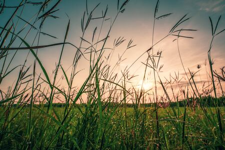 Bokeh drops of dew on the top of the grass against the morning sun With a rice field as a backdrop.soft focus. 写真素材