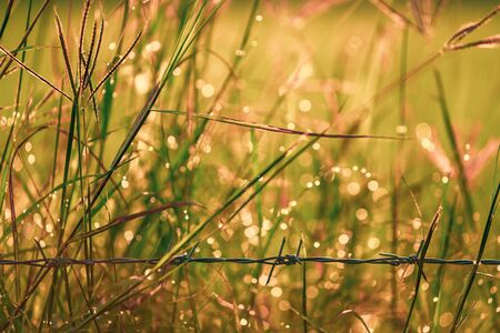 Bokeh drops of dew on the top of the grass against the morning sun With a rice field as a backdrop soft focus. 写真素材