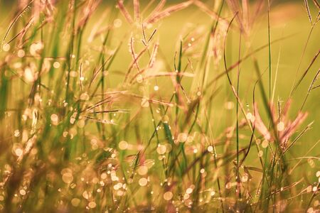Bokeh drops of dew on the top of the grass against the morning sun With a rice field as a backdrop soft focus. 写真素材 - 132272719