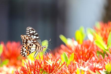 Swallowtail Butterfly feeding on red flower
