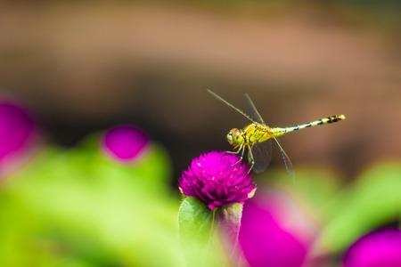 Dragonfly on purple plant Zdjęcie Seryjne