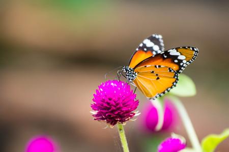 The Butterfly feeding on purple flower