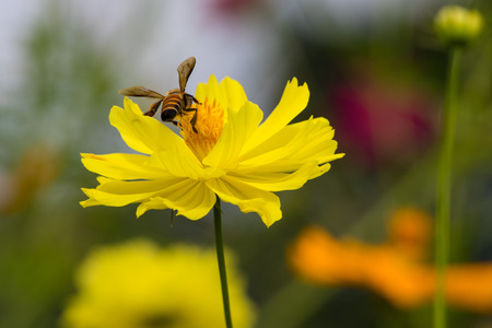 Sulfur Cosmos with bcak Bee