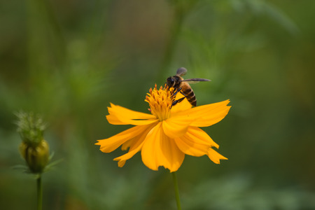 sulfur: Sulfur Cosmos with Bee