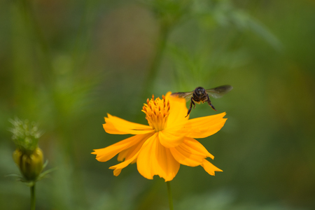 cosmos flowers: Cosmos flowers with Bee Stock Photo