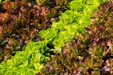 Growing salad lettuce on field
