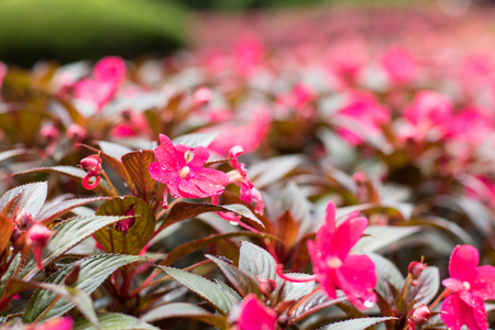 New Guinea Impatiens pink