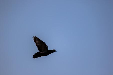 Flying pigeon. Zdjęcie Seryjne