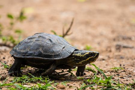 Turtle is walking on the ground. Zdjęcie Seryjne