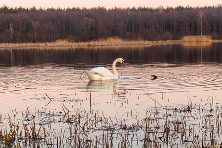 lone: lone swan