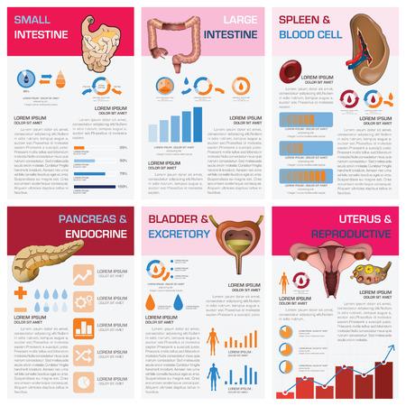 aparato reproductor: Interno humano Health Organ y la carta médica Plantilla Diagrama Infografía Diseño Vectores
