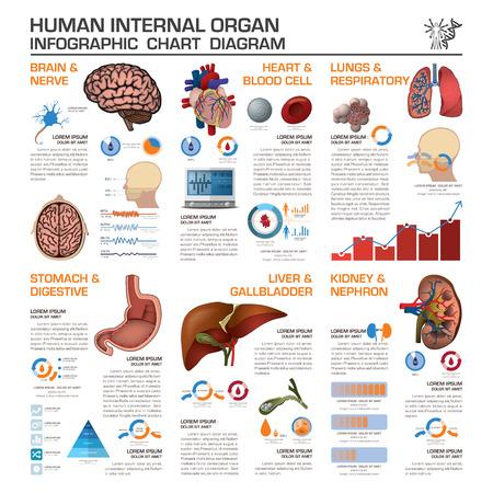 celulas humanas: Salud �rgano interno humano y diagrama de Infograf�a Tabla m�dica del dise�o del vector