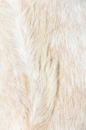 close up of boer sheep wool background