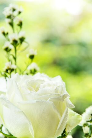 Close up of white rose Stock Photo - 18088212