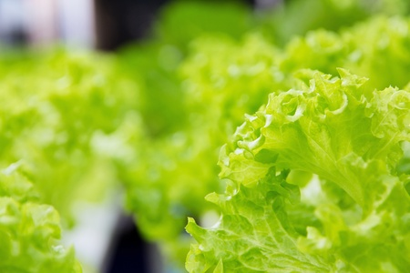 Hydroponics vegetable farm,Frillie Iceburg Lettuce Stock Photo