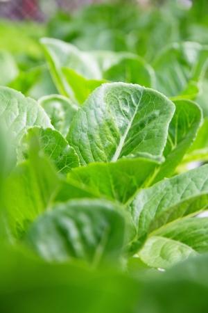 lactuca: Hydroponics vegetable farm,close up of Lettuce Crop Lactuca Leaf Vegetable  Stock Photo