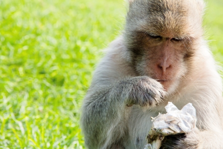 portrait of Long-tailed macaque, eating sunflower seed  photo