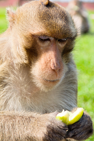 portrait image of Long-tailed macaque,Eating cucumbers  photo