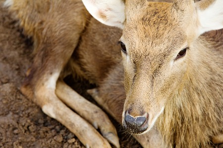 axis deer: close up of Axis Deer