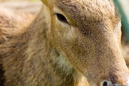 axis deer: close up of Axis Deer face
