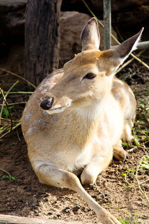 asia deer: Axis Deer Stock Photo