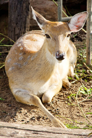axis deer: Axis Deer Stock Photo