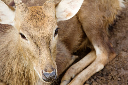 axis deer: Axis Deer at a zoo Stock Photo