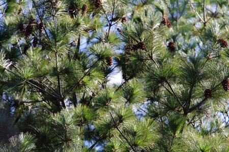 bristlecone: Close up of Japanese red pine