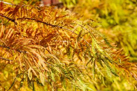 colorful autumn Bald Cypress tree (Taxodium distichum) photo