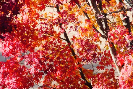 japanese maple: Image of red Japanese maple leaves Stock Photo