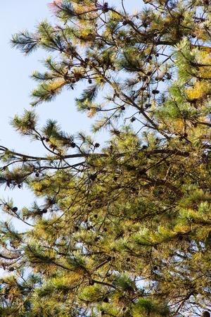 bristlecone: Japanese red pine