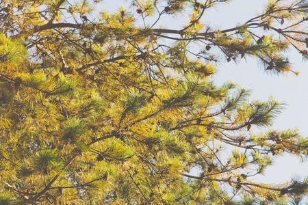 jeffrey: Japanese red pine